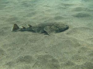Baby Angel Shark
